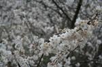 もう、この雨で花も散りそうです。