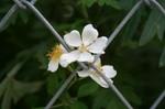 ジョグの花