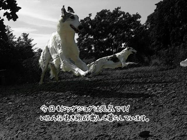ボルゾイとお付きの超田舎的物語 29